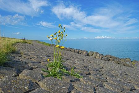 markermeer: Wildflower on a dike in summer