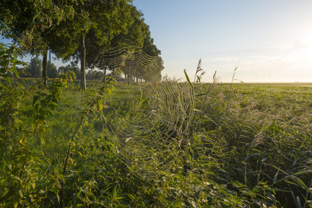 flevoland: Row of trees at sunrise in summer Stock Photo