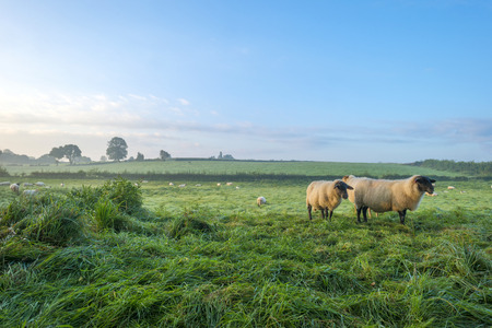 Sheep in a meadow at dawn in summer photo