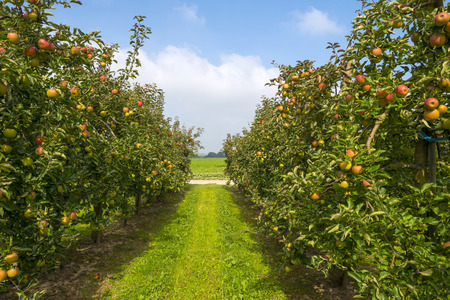 Orchard with fruit trees in a field in summer Stockfoto