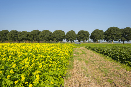 Rapeseed growing on a field in summer photo