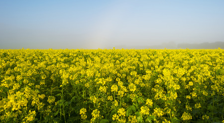 Rapeseed growing on a field at fall photo