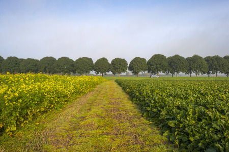 flevoland: Rapeseed growing on a field at dawn