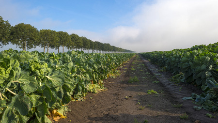 flevoland: Brussels sprout growing in a field at fall