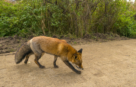 red fox: Red fox walking along a footpath in nature at fall