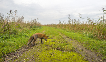 red fox: Red fox walking along a track in nature at fall Stock Photo
