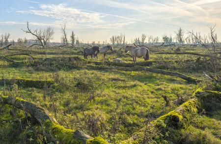 Herd of konik horses in nature at fall photo
