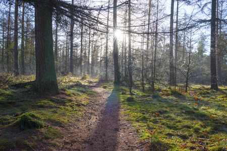 mosses: Footpath in a pine forest at sunrise in winter
