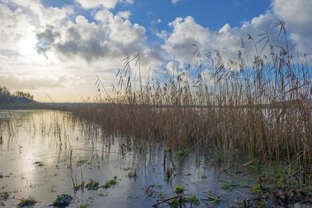 frozen lake: Reed along the shore of a frozen lake
