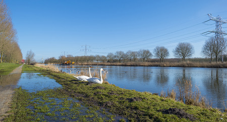 flevoland: Swans on the shore of a sunny canal in winter