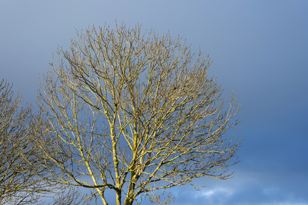 deteriorating: Bare sunny crown of a tree in deteriorating weather