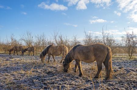 Konik horses grazing in a snowy field in winter photo