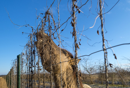 Horse eating form a fence in winter photo