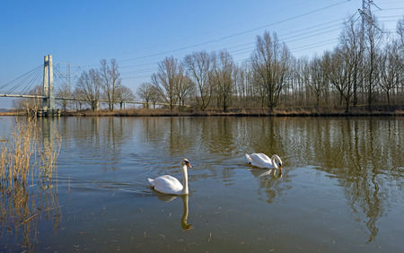Swans swimming along the shore of a canal photo