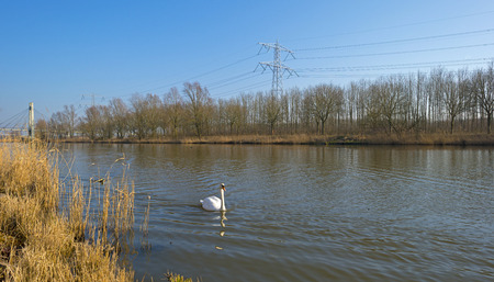 Swan swimming along the shore of a canal photo