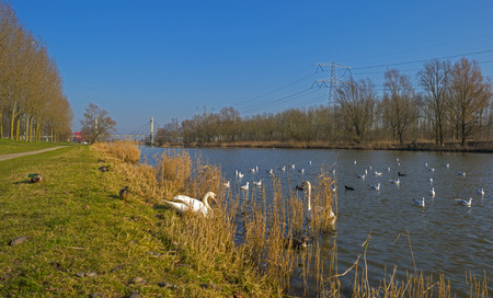 Swans on the shore of a canal in winter photo
