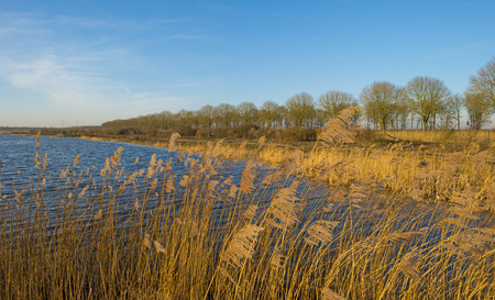 Reed along the shore of a lake in winter photo