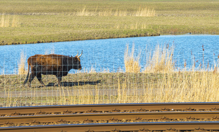Ox walking along a railroad photo