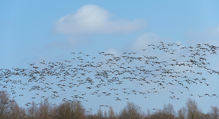 Flock of geese flying over nature in winter photo