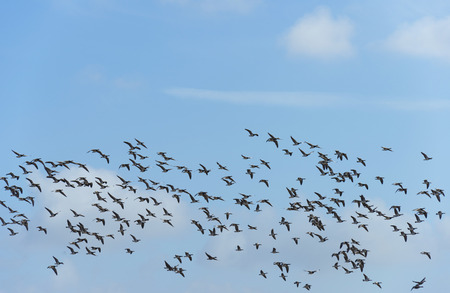 Flock of geese flying in nature in winter photo