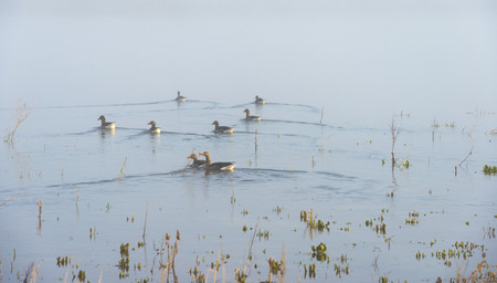 Geese swimming in a foggy lake in sunlight photo