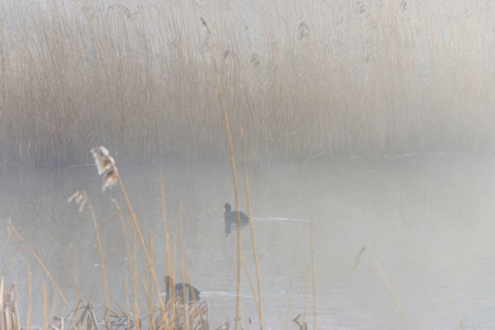 Coot swimming in a misty lake in winter photo