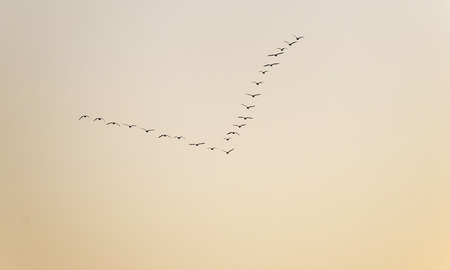 Geese flying in a the sky at dawn photo