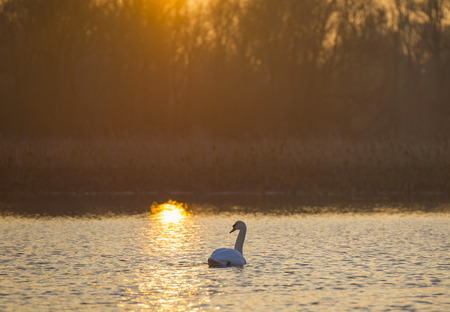 Swan swimming in a lake at sunrise photo
