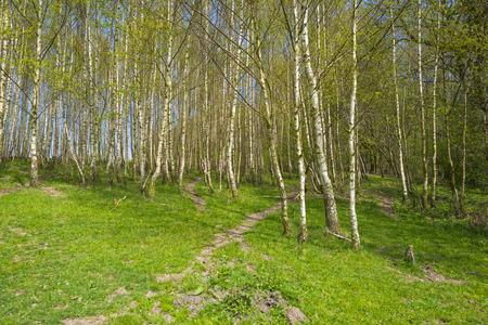 Hiking trail through birches in spring