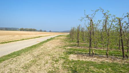 alberi da frutto: Frutteto con alberi da frutto in germoglio in primavera Archivio Fotografico