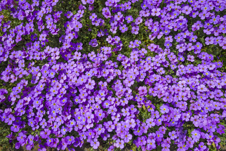 timeless: Purple flowers in a sunlit garden in spring