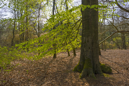 sprouting: Beech forest sprouting in sunlight in spring