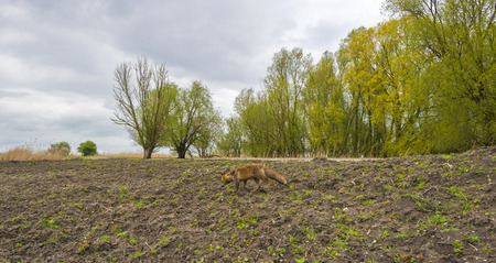 red fox: Red fox walking over a dam in spring