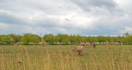 ranging: Konik horses in a field in spring