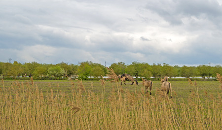 ranging: Koniks in a field in spring under a cloudy sky