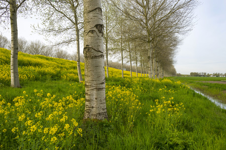 yellow wildflowers: Yellow wildflowers in spring and birches Stock Photo