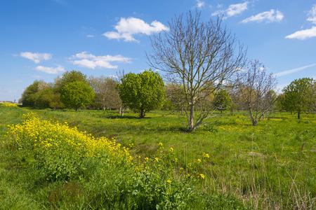 chestnut tree: Chestnut tree in a sunny field in spring Stock Photo