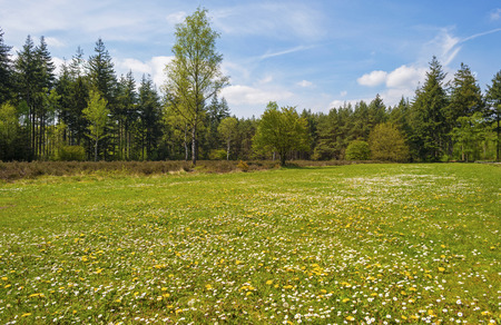 clearing: Clearing with flowers in a pine forest in spring