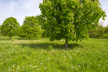 chestnut tree: Blossoming chestnut tree in a sunny meadow Stock Photo
