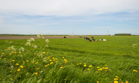 grazing cows: Herd of grazing cows in a meadow in spring Stock Photo