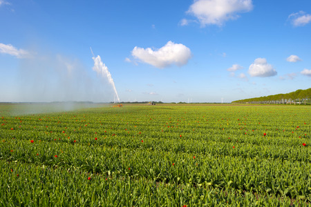 irrigating: Water cannon irrigating a field with tulips in spring
