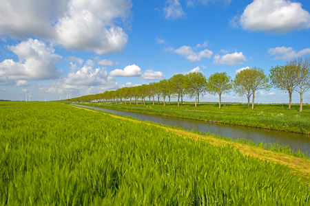 Green wheat on a field in spring photo
