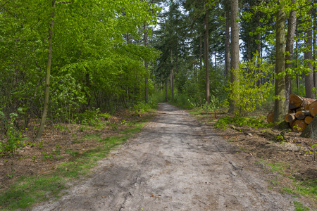timberland: Footpath through a pine forest in spring