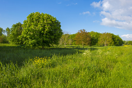 gloriole: Chestnut trees in a sunny meadow in spring