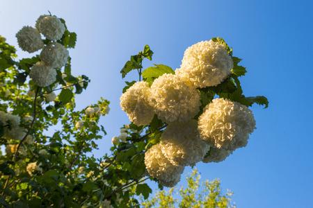 boule de neige: Blossoms d'un arbre boule de neige dans la lumi�re du soleil au printemps Banque d'images