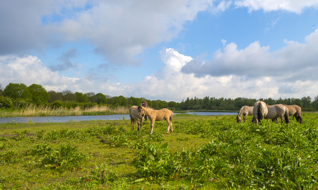blue cloudy sky: Herd of horses in nature under a blue cloudy sky Stock Photo