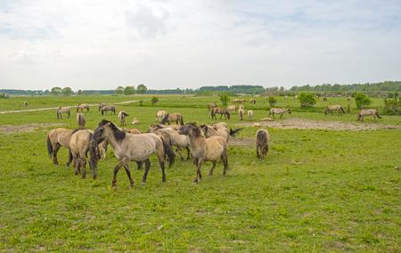gloriole: Herd of Konik horses in the wilderness in spring
