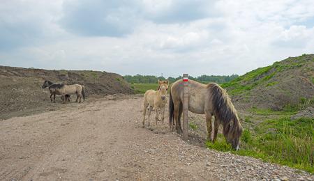 gloriole: Manada de caballos Konik en el desierto en la primavera de