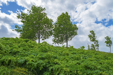 blue cloudy sky: Trees on a hill under a blue cloudy sky Stock Photo