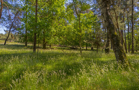 clearing: Clearing in a pine forest in sunlight in spring